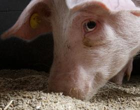 En gris der spiser foder.