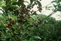 En kaffeplante. Kilde Europa-Kommissionen.